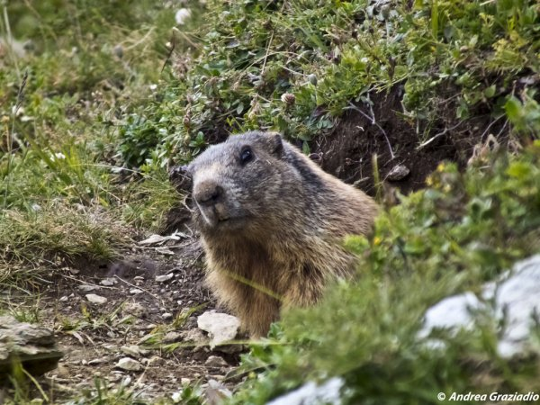 Marmotte by Andrea Graziadio CC BY-ND on Flickr